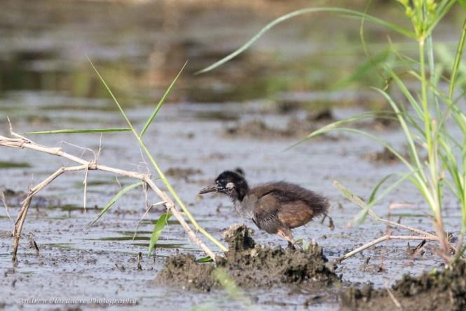 Amaurornis phoenicurus