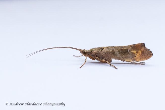 Trichoptera sp 1b